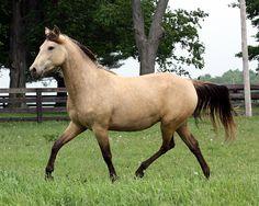 Edgefield Farm Morgans, Quality Morgan Horses. Home of Edgefield Sun Gold