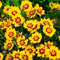 Monrovia's Heliot Largeflower Tickseed details and information. Learn more about Monrovia plants and best practices for best possible plant performance. Summer Flowers, Yellow Flowers, Coreopsis Flower, Monrovia Plants, Plant Zones, Plant Catalogs, Ornamental Plants, Gardening, Flowers Perennials