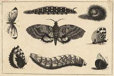 Wenceslas_Hollar_-_Three_caterpillars,_a_moth_and_four_butterflies.jpg (4286×2859)