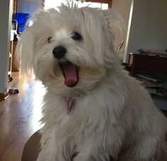 This is my honeybear puppy, Coco. Cutest dog EVER! Bichons, Cutest Dog Ever, Maltese, Cute Dogs, Puppies, Pets, Animals, Cubs, Animales