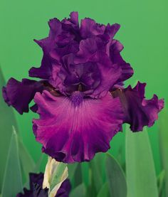 Swingtown | Tall Bearded Bloom Season: Late Fragrant: Yes Rebloom: No This refreshing mulberry-claret self is number one on the Iris hit parade. Its exquisitely ruffled petals, impeccable flower form and sweet lavender fragrance make it perfection indeed. Swingtown is a prolific bloomer with ramrod-stiff stems that produce three branches and 7-9 buds.