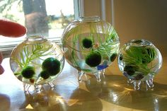 Your place to buy and sell all things handmade Cool Plants, Live Plants, Indoor Water Garden, Water Gardens, Indoor Plants, Fish Tank Terrarium, Underwater Plants, Marimo Moss Ball, Nano Tank