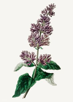 Vintage Lady Josika's lilac flower branch for decoration | free image by rawpixel.com Red Lily Flower, Fuchsia Flower, Pea Flower, Lilac Flowers, Hibiscus Flowers, Vintage Flowers, Coreopsis Flower, Delphinium Flowers, Botanical Drawings