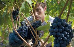 ¡Explora una de las empresas vinícolas más grandes y sólidas de Chianti Classico: Rocca delle Macìe!: http://www.sal.pr/?p=54171
