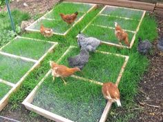 grazing frames - simple two-by-four frames with hardware cloth (welded wire mesh) attached across the top. Set one above a patch of grass, and the grass will grow up through the openings. Your chickens can snack on the green tips, and the frame protects the roots so that the grass survives to grow another day.