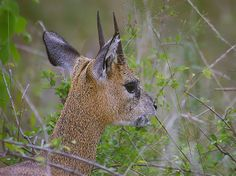 Klipspringer closeup | Endless Wildlife