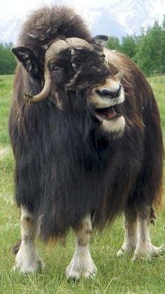 Musk Ox Farm in Alaska All Animals Pictures, Big Animals, Funny Animals, Rare Albino Animals, Buffalo Animal, Alaska, Fluffy Cows, Musk Ox, Wild Creatures