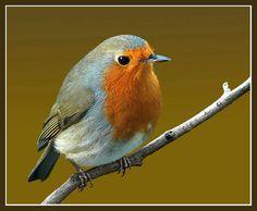 new robin | by hawkgenes