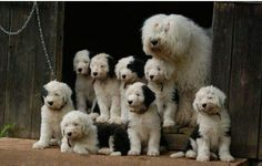 Old English sheepdog and puppies. Gorgeous.