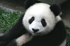 A close up photo of a very cute panda cub. Native to China, the giant panda is an endangered species. (Animal images to use for projects.)