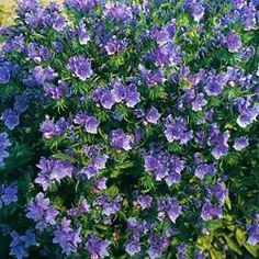 "Echium vulgare ""Blue Bedder"""