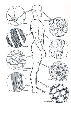 Human Anatomy Coloring Book New Week 3 Anatomy Diagram Of Human Tissue A Tissue is Made Science Cells, Science Biology, Teaching Biology, Science Lessons, Science Education, Life Science, Tissue Biology, Biology Lessons, Science Worksheets