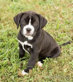 """Eliza. Mastiff / Boxer / Mixed (short coat) Medium Baby Female Available for Adoption Alpharetta, GA 10 miles away Organization Contact Info: Furkids 1520 Union Hill Rd Alpharetta, GA 30005 dogadoptions@furkids.org http://www.furkids.org """"Hi, I recently arrived at Furkids. My caregivers here are working hard to write my biography. Check back soon to read more about me.""""  Eliza's estimated birthday is 06/27/2017. Her adoption fee is $295 [senior citizens (age 62 and older) and military…"""