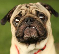 great teeth you've got, lil' pug!