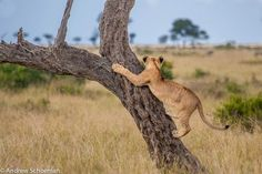 The Lookout. A Lion cub in the #MasaiMara climbing a tree to gain a better view of the Wildebeest in the Distance, the Masai Mara has to be one of the Greatest wildlife destinations in Africa. By: Andrew Schoeman