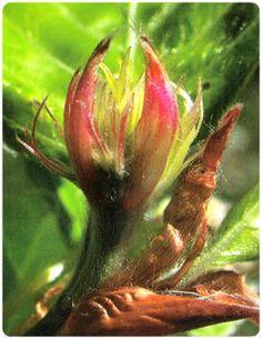 Flores de Bach - Beech - Haya
