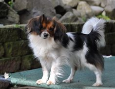 The Phalene is presently recognized as a variant in the Papillon in some circles, although the American Kennel Club's breed common for the Papillon disqualifies any drop-ear specimens.