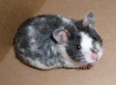 Black Dominant Spot Hamster