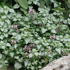 Lamium maculatum 'Pink Pewter' (perennial): One of the best choices for a tough yet showy perennial groundcover. Clusters of soft salmon-pink flowers appear in spring, then continue off and on until fall.  Trim back in late winter. Stems will root into the ground where they touch, and any new plants that form can be easily moved in spring or fall. Also easily divided. Partial Shade or Full Shade, Soil Type: Normal or Sandy or Clay, Soil Moisture: Average or Dry or Moist, Care Level: Easy