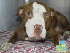 1/10/16 ADOPTED PER SHELTER   ***URGENT!!! Urgent Dogs of Miami MAX ~ THIS SWEET BOY HAS A DEAD THREAD ON FB*** LONGS FOR LOVING HOME!!! (A1732254) I am a male brown and white Pit Bull Terrier. The shelter staff think I am about 4 years old. I was found as a stray and I may be available for adoption on 10/20/2015.
