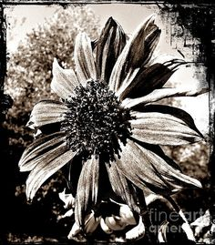 Sunflower Portrait Sepia by Chalet Roome-Rigdon - Sunflower Portrait Sepia Photograph - Sunflower Portrait Sepia Fine Art Prints and Posters for Sale