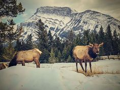 Some friendly wildlife on the Tunnel Mountain XC skiing trail. Check out the full Tunnel Mountain cross-country ski guide right here: Mountain Village, Mountain Biking, Banff National Park, National Parks, Ski Banff, Wolf Street, Xc Ski, Cross Country Skiing, Estes Park
