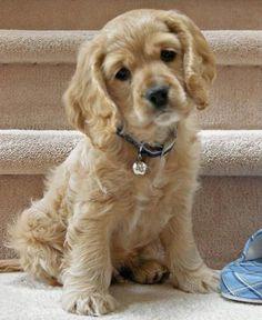 Cutest dog ever - Cocker Spaniel