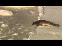End the Canadian seal hunt