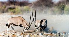 "Photo ""OryxesBattle,Namibia"" by schmidchris"