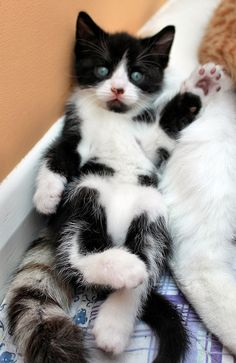 This looks like my new baby, Kasey. A little doll, Kittens And Puppies, Cute Cats And Kittens, I Love Cats, Crazy Cats, Kittens Cutest, Pretty Cats, Beautiful Cats, Baby Animals, Cute Animals