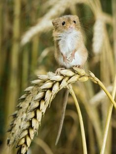 Harvest Mouse Standing on Wheat Stalks, UK+