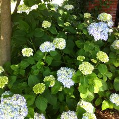 Hydrangea - this is the best it has ever looked 2012