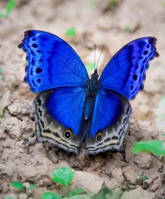 Theres not a creature on Gods earth as diverse & uniquely beautiful as a butterfly ! Butterfly Kisses, Monarch Butterfly, Blue Butterfly, Blue Bird, Most Beautiful Butterfly, Beautiful Bugs, Beautiful Creatures, Animals Beautiful, Cute Animals