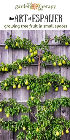 Art of Espalier: Growing Fruit Trees in Small Spaces - Garden Therapy® Espalier fruit trees - how to grow lots of fruit in a small spaceEspalier fruit trees - how to grow lots of fruit in a small space Espalier Fruit Trees, Trees And Shrubs, Flowering Trees, Growing Fruit Trees, Growing Tree, Dwarf Fruit Trees, Small Space Gardening, Small Gardens, Vertical Gardens