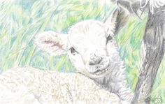 lamb drawing in colour pencil