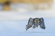 Hunting Hawk Owl by klaus_photography #animals #animal #pet #pets #animales #animallovers #photooftheday #amazing #picoftheday