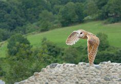 barn owl flying in the Pyrénées