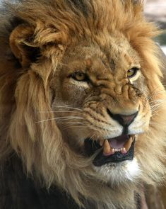 brett e scheid posted this picture to National Geographic's Your Shot photo community. Check it out, add a comment, share it, and more. Lion Wallpaper, Animal Wallpaper, Royal Animals, Animals And Pets, Osiris Tattoo, Lion Photography, Lions Photos, Lion And Lioness, Lion Love