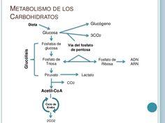 mapa rutas metabolicas - Buscar con Google