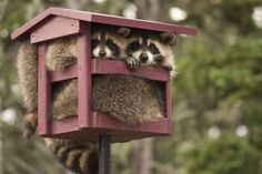 2 rotund raccoons burglaring the birdseed. They'll go after anything!