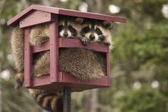 Raccoons stuffed in a bird feeder