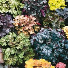 Coral Bells variety, perennial, light shade to part sun