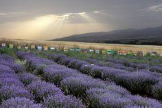 Beehives & Lavenders - Beautiful Greece