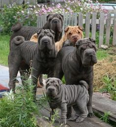 best images and photos ideas about awesome chinese shar pei dogs - oldest dog breeds Chinese Shar Pei Dog, Wrinkly Dog, Animals And Pets, Cute Animals, Shar Pei Puppies, Corgi Puppies, Saarloos, Cute Dogs And Puppies, Doggies