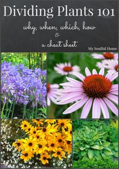 Dividing plants a guide to why, when, which & how and a cheat sheet for common perennials.