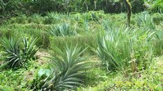 Vetiver grass provides added humidity and protection to pineapple crops