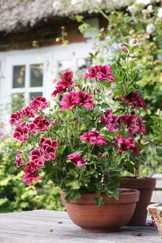 A bowl of pelargoniums...what could be nicer ?