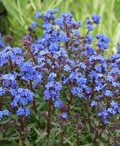 """Anchusa capensis 'Blue Angel' """"Summer Forget-me-not"""