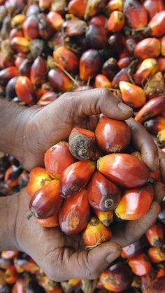 Palmöl schadet der Umwelt und ist doch nicht zu ersetzen