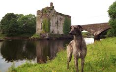 Obie, the deerhound, poses in front of Carrogdrohid Castle, County Cork, Ireland.